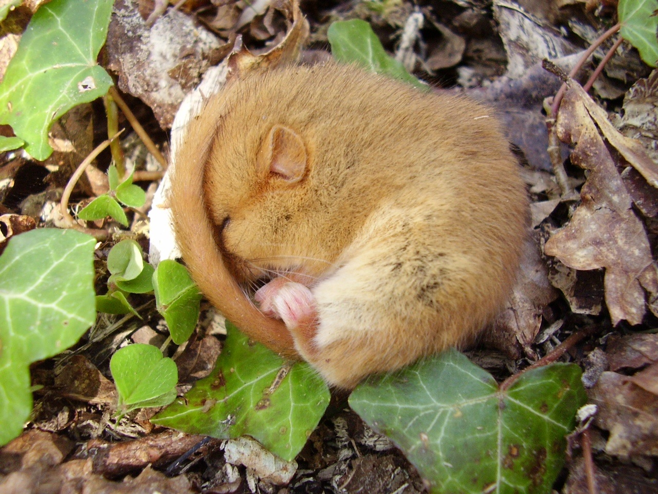 Dormouse in Ash Piece Binsted April 2015 - its habitat network of woods and old hedges is threatened by Arundel bypass Option B